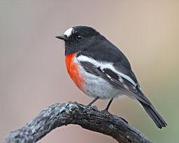 bird 256px-Petroica_boodang_male_-_Knocklofty