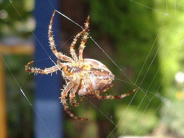spider Araneus_diadematus_underside_1